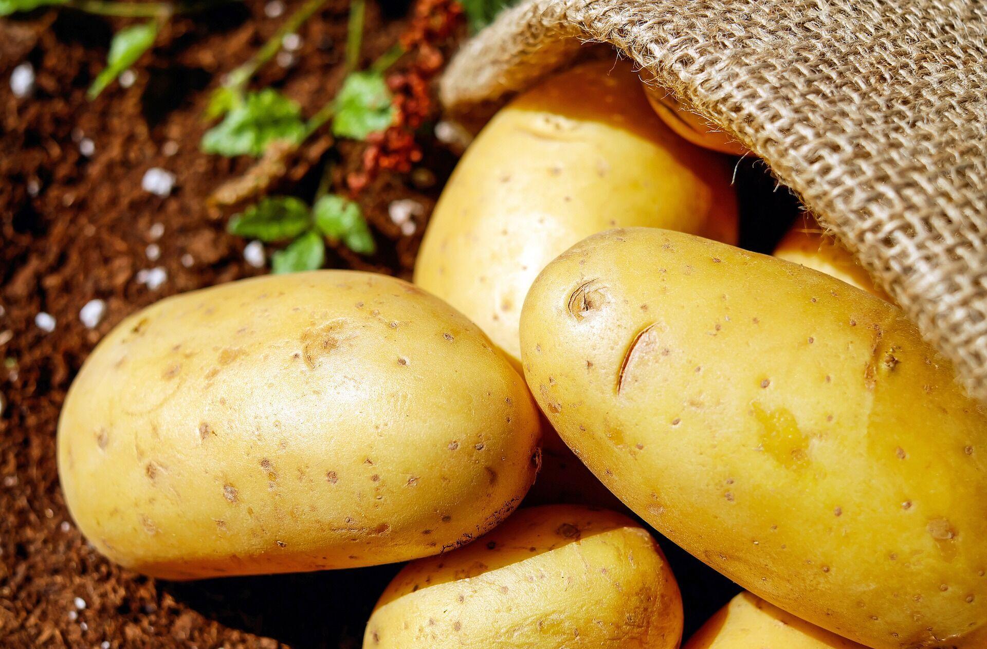 Выяснить, когда сажать картофель, можно по грунту