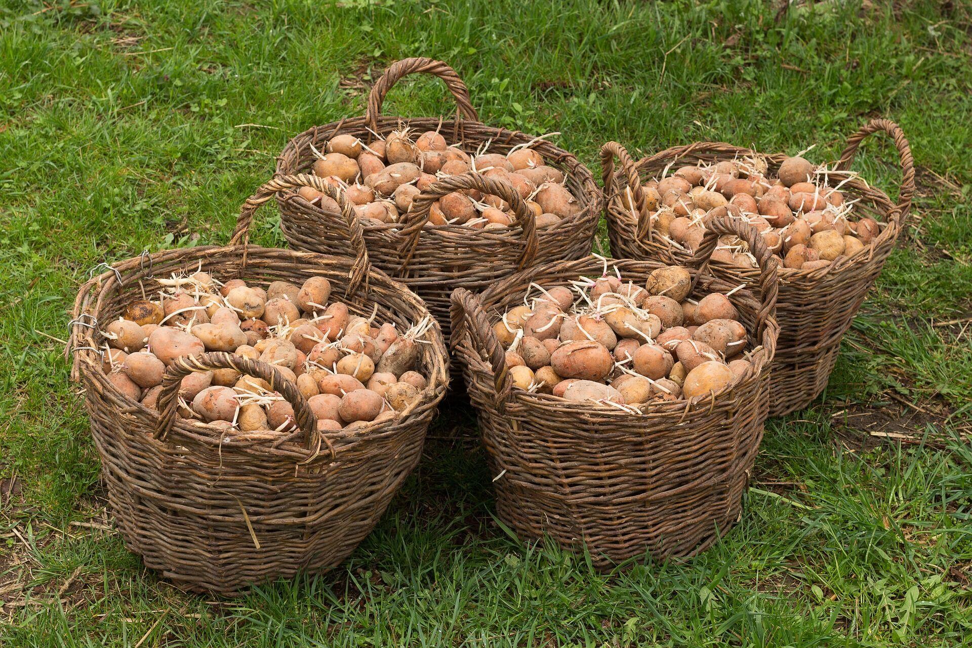 Главный критерий определения сроков посадки картофеля – среднесуточная температура