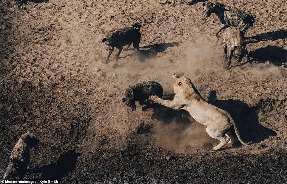 Кайл Сміт сфотографував, як лев переміг 30 гієн у шестигодинній битві за тушу буйвола