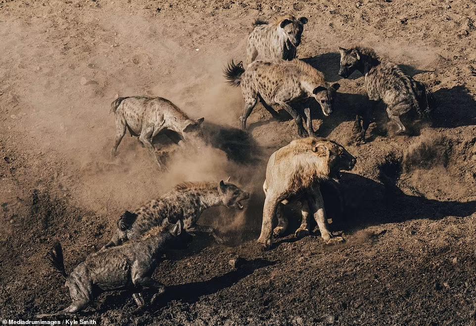 Фотограф був на відстані, поки лев бився з гієнами