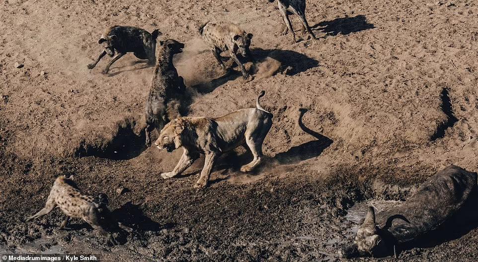 Лев бився з гієнами