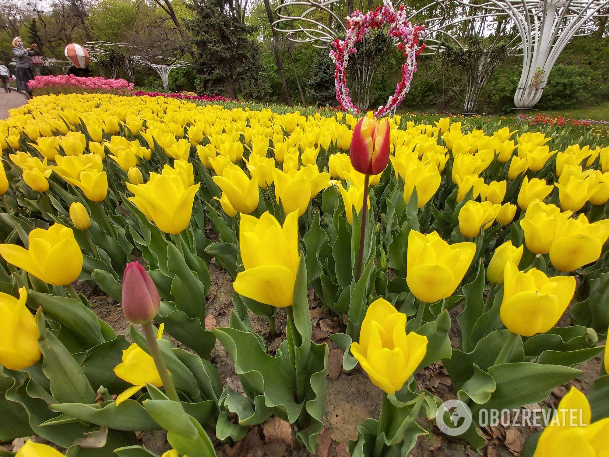 На Співочому полі висадили 30 сортів тюльпанів.