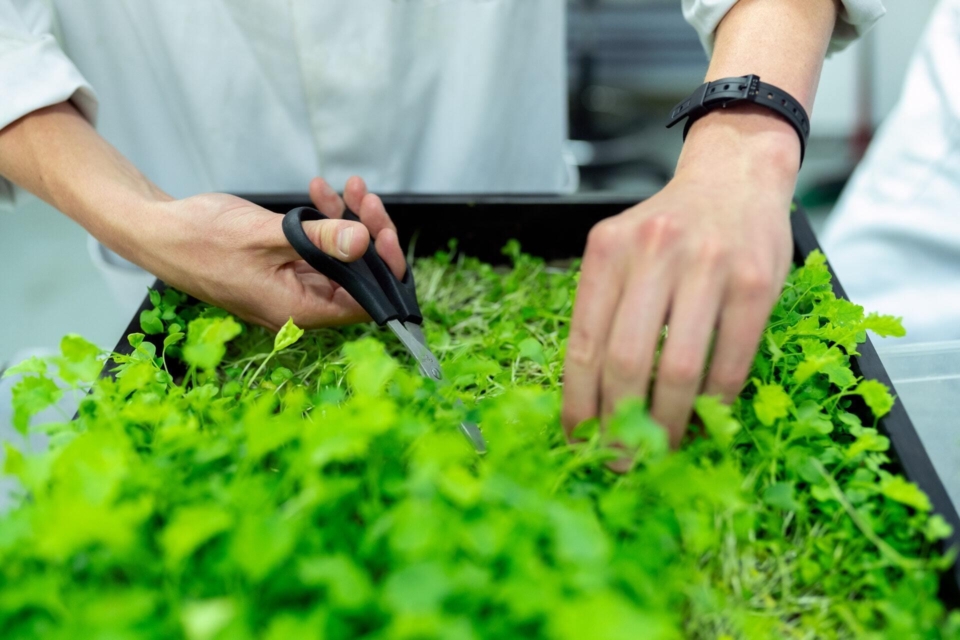 Мікрозелень багата антиоксидантами