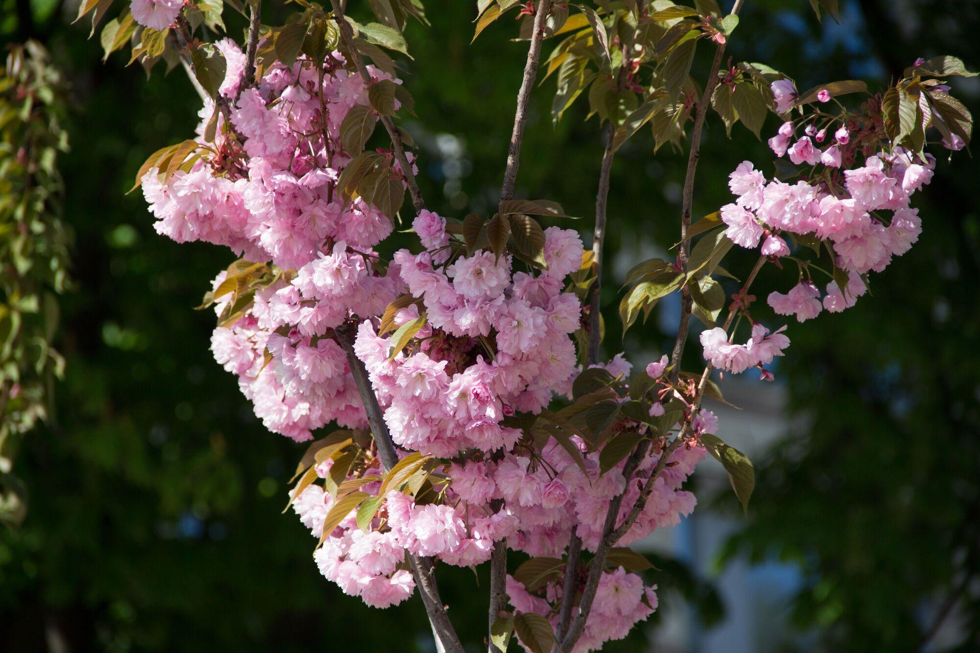Помилуватися квітучими сакурами в Дніпрі можуть усі охочі