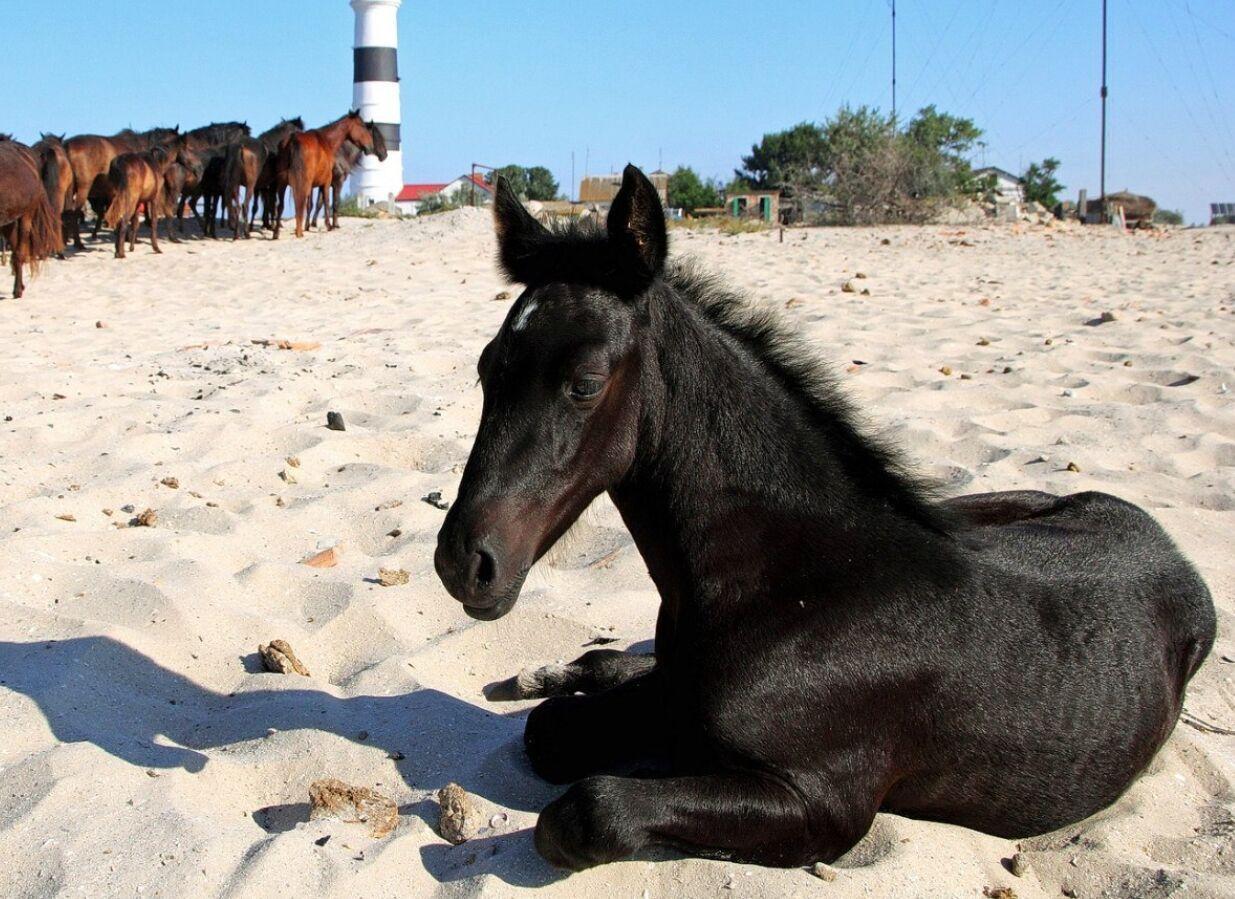 Дикие лошади на Тендре часто приходят стадом на водопой к маяку