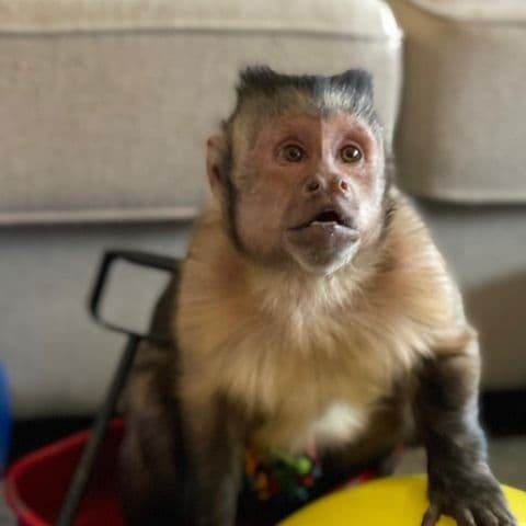 Как выглядела популярная обезьяна