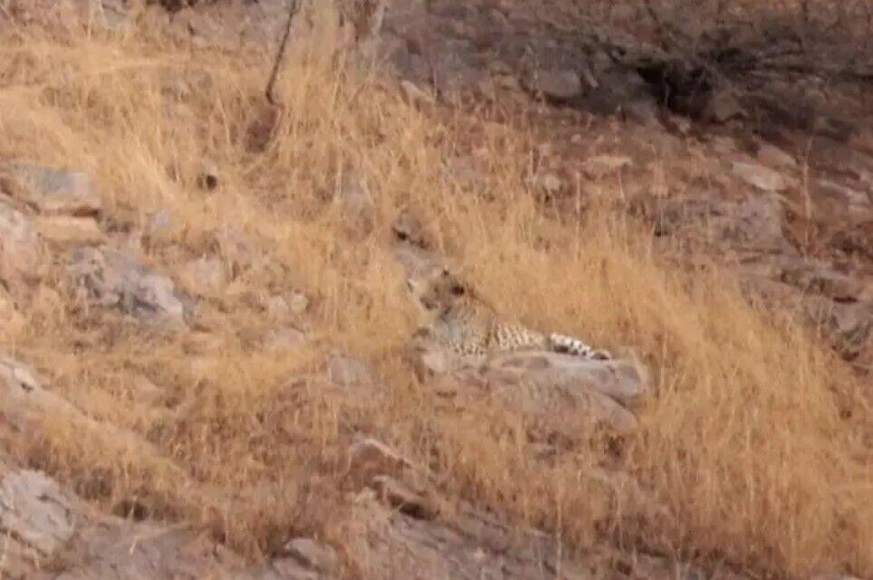 На фото сховався леопард.