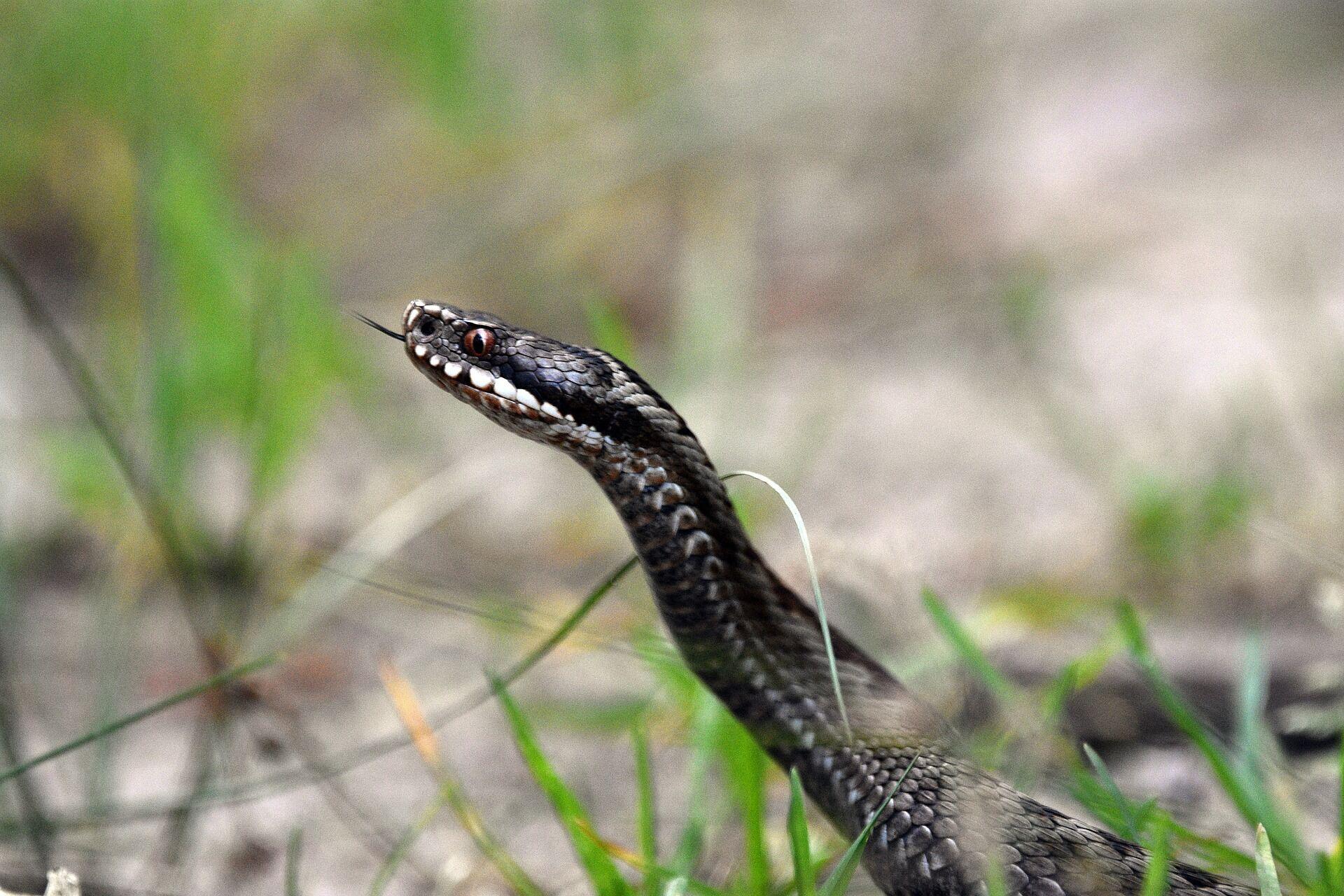 Вважається, що 12 червня змії надзвичайно активні та повзають зграями