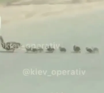 Утята, которых задавили в Киеве
