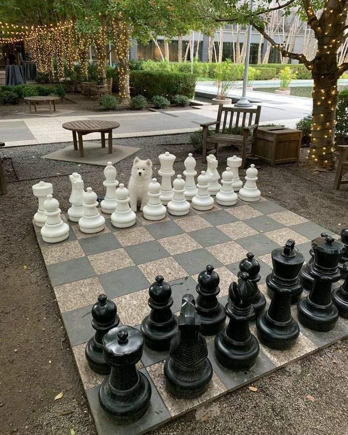 Білий пес замаскувався поміж шахами