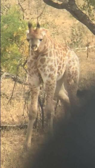 Жираф повернул голову на 180 градусов.