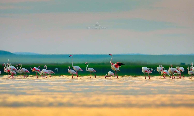 Розовые фламинго в дельте Дуная