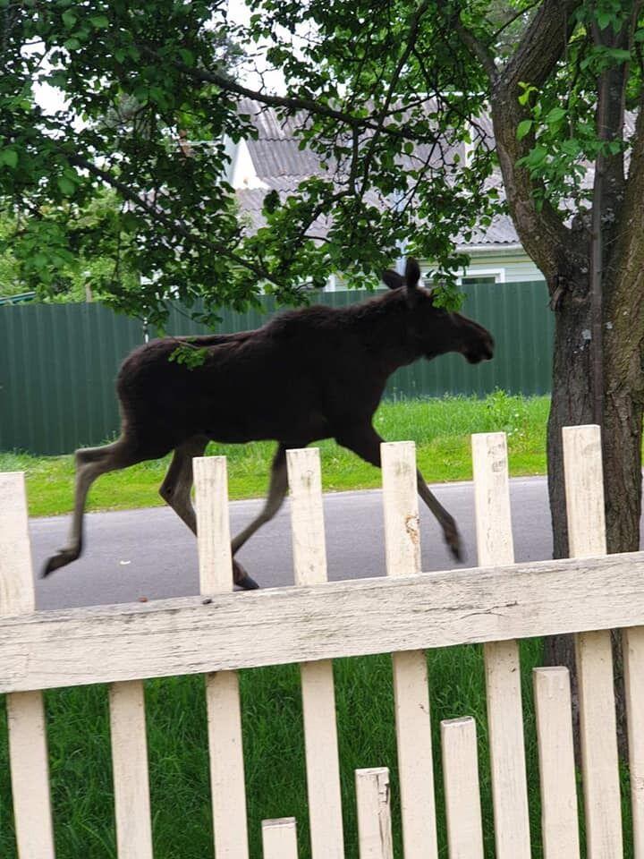 Лосі бігають вулицями селища і громлять паркани.