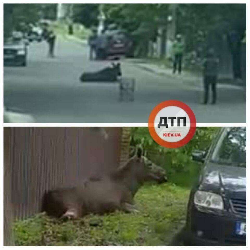 У Ворзелі водій легковика збив лося.