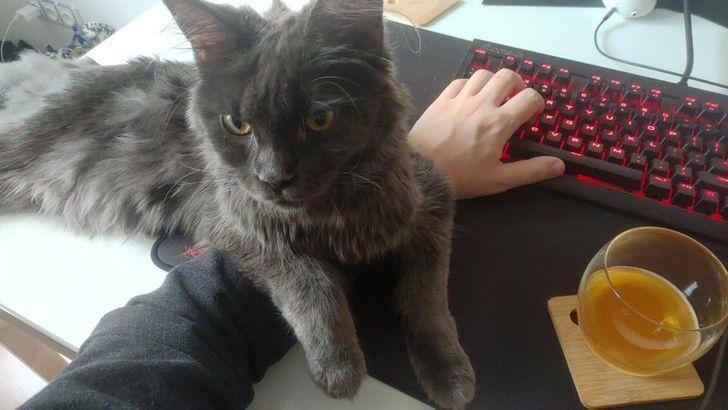 Кот требует внимания.