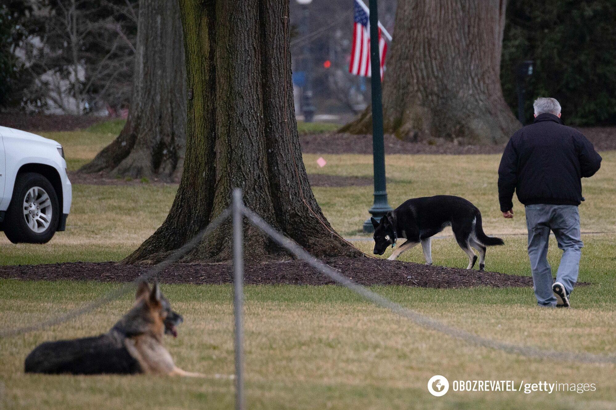 Собаки Байдена в саду Белого дома, 2021 год