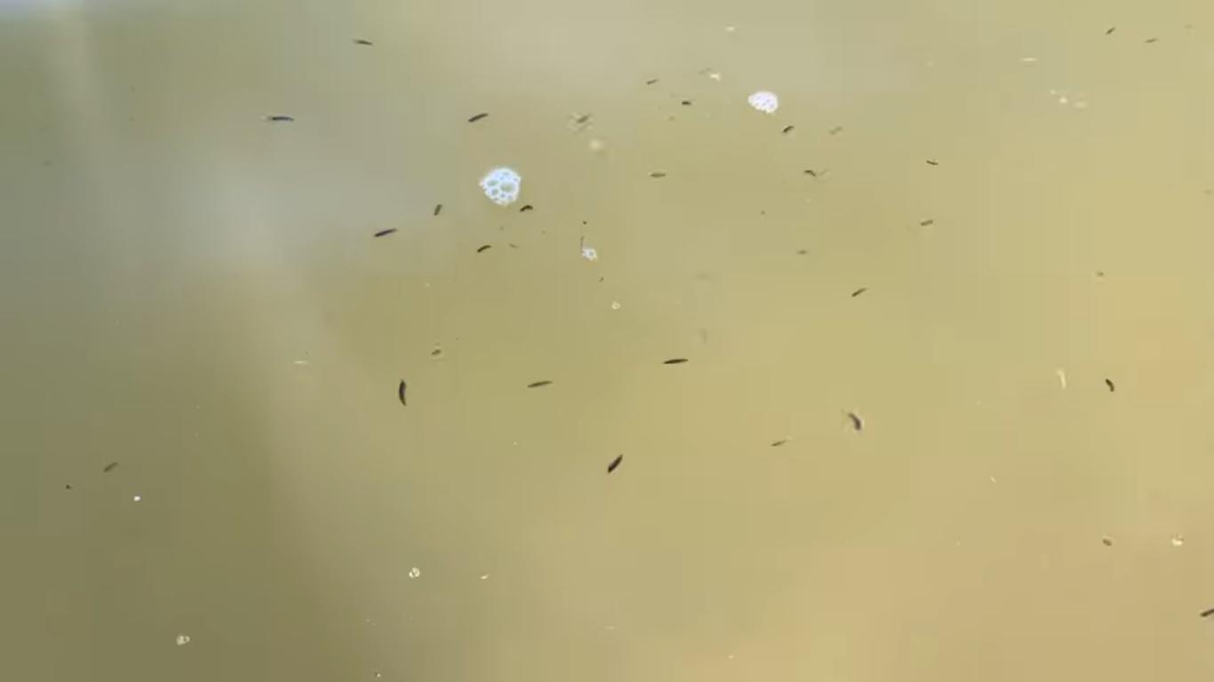 Морські блохи в Азовському морі