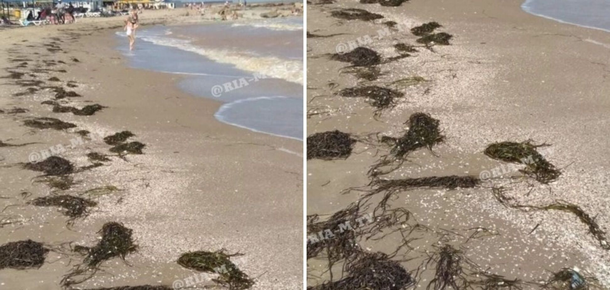 водоросли на берегу моря в Приморском посаде