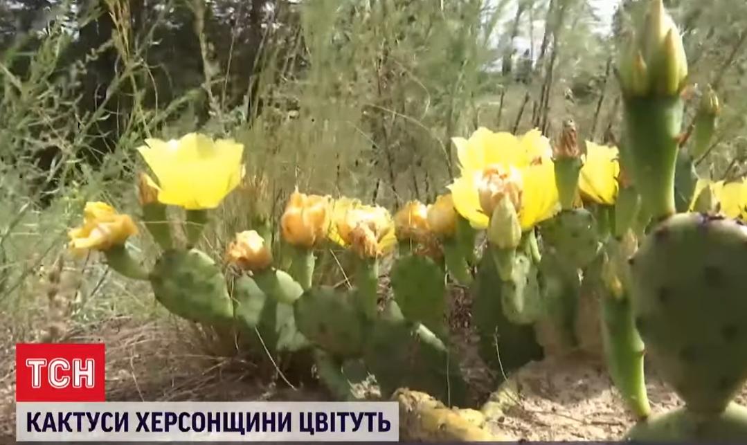 Желтые цветы опунции.