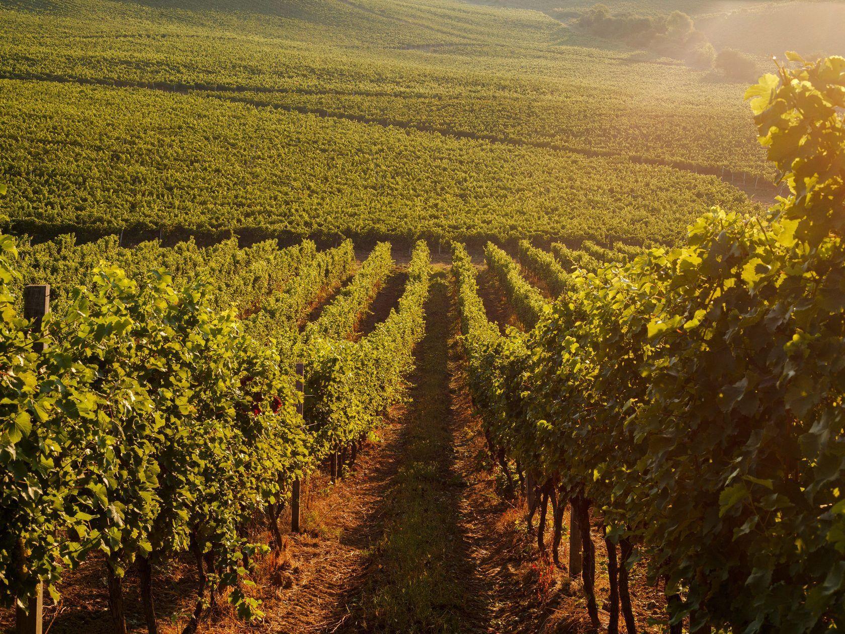 В Берегово находятся невероятной красоты виноградные плантации