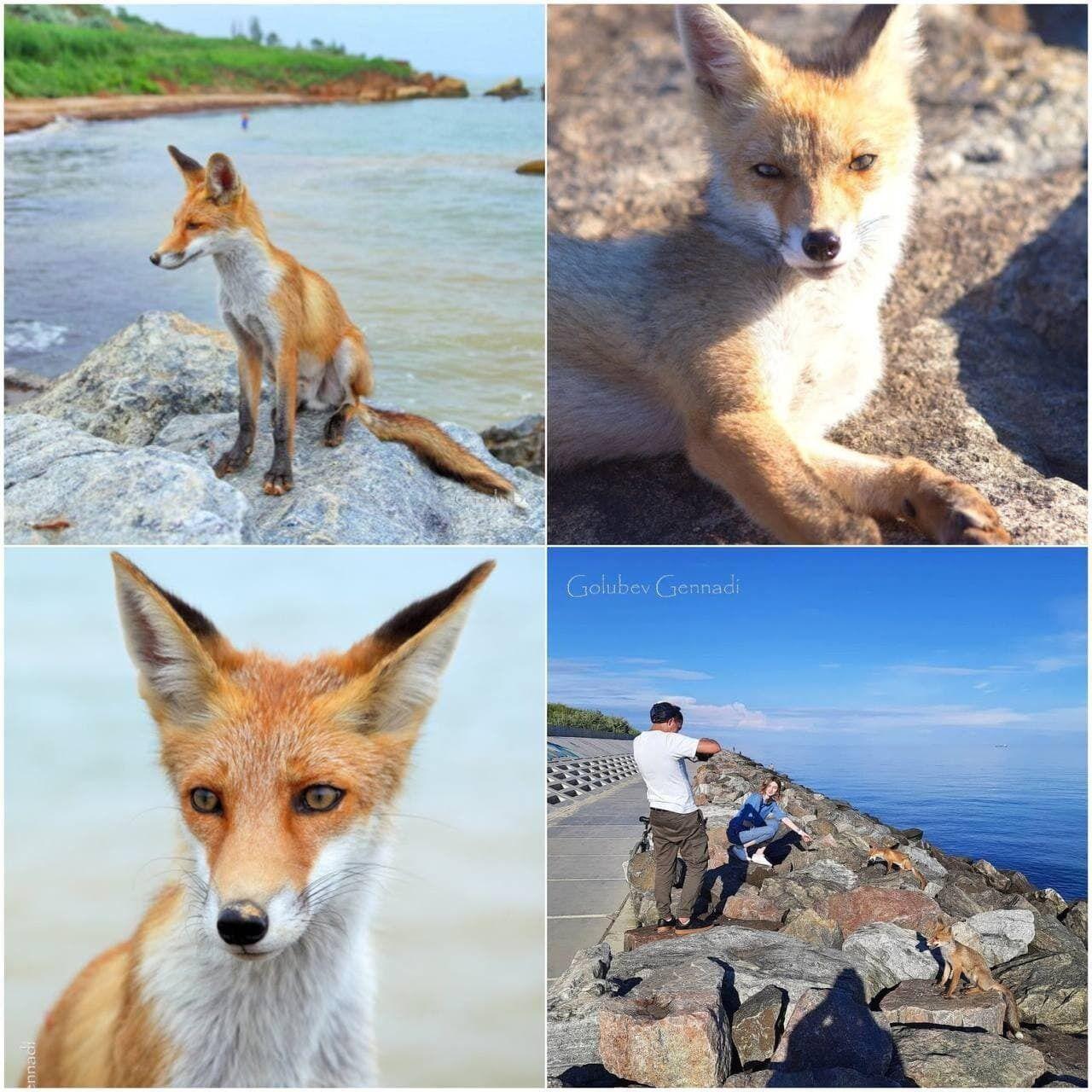 Лисиці живуть на пляжі.