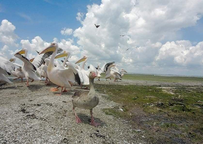 Одиссей прижился с пеликанами