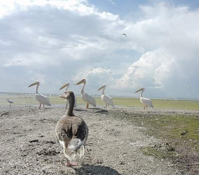 Гусь и пеликаны