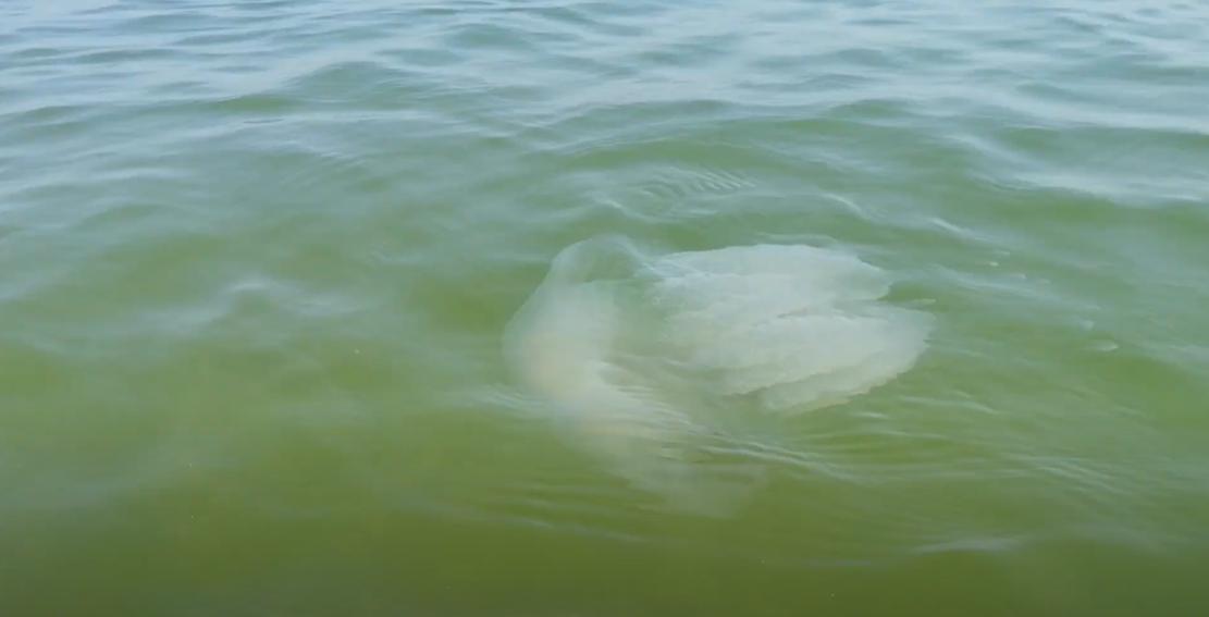 В Азовском море большие медузы
