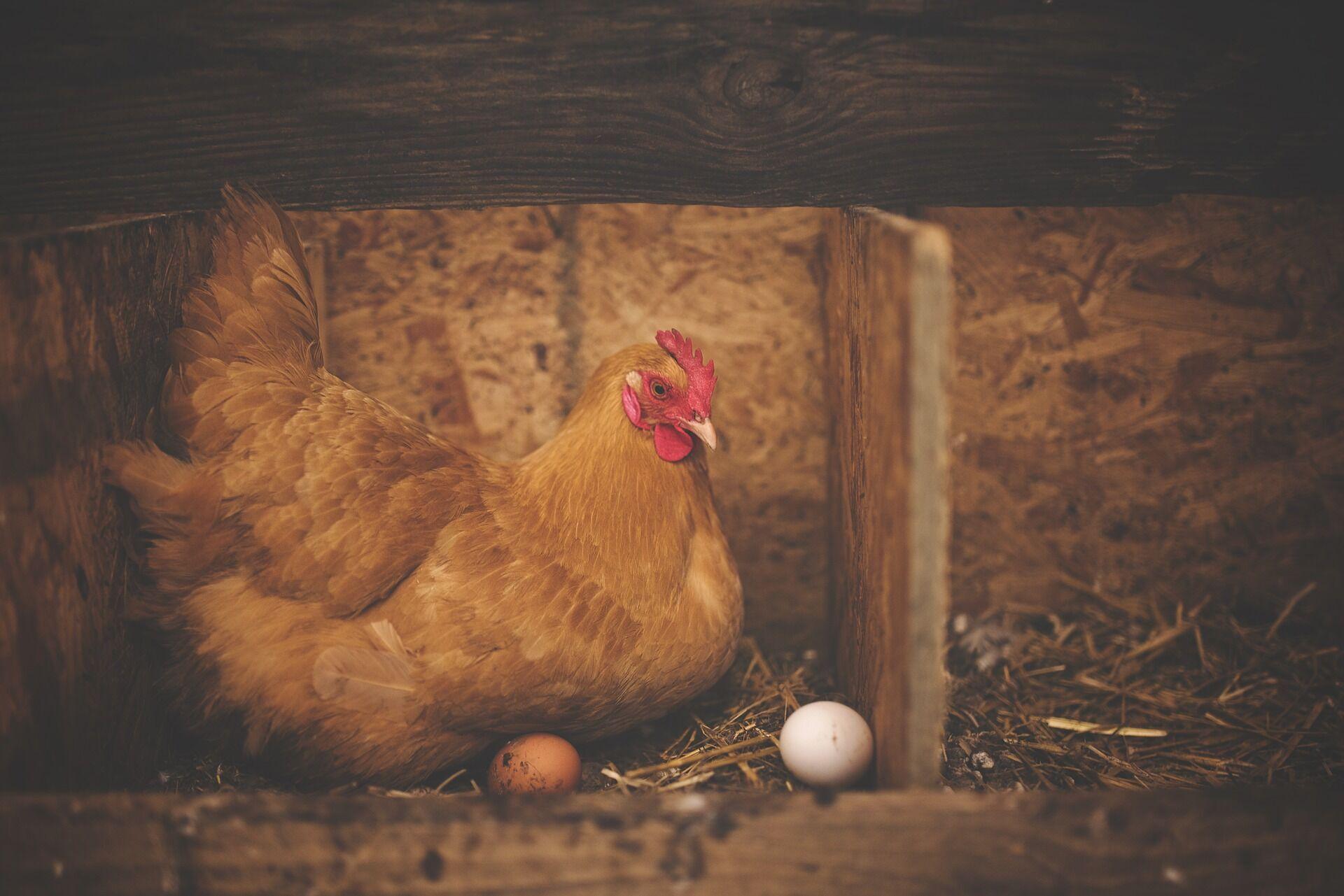 Чтобы не дать Василиску родиться в этом мире, люди забирали все яйца из курятника и варили их.