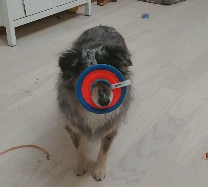 Песик грається з улюбленою іграшкою