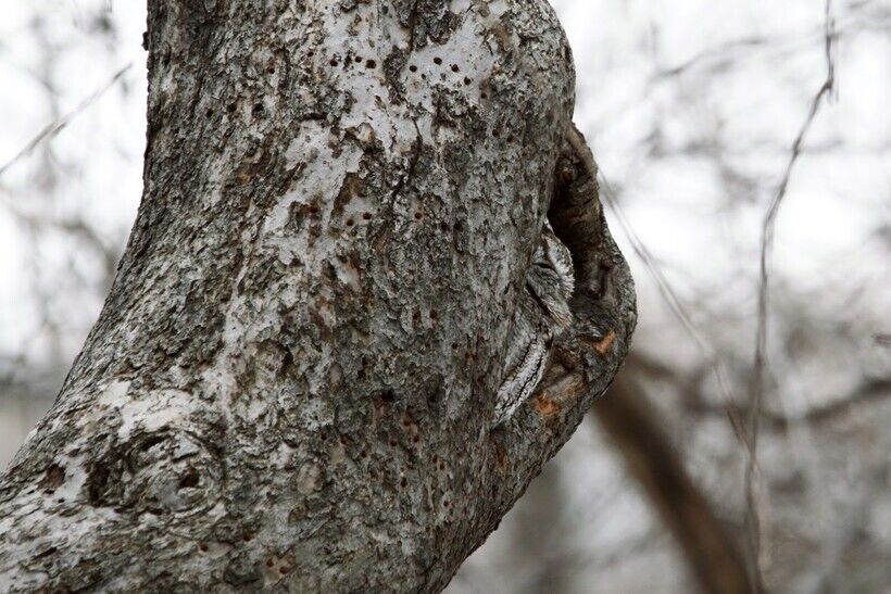 Сова-невидимка – найдите на фото