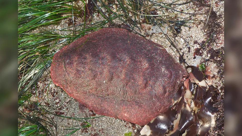 У зубах найбільшого з панцирних молюсків виявили сантабарбараїт