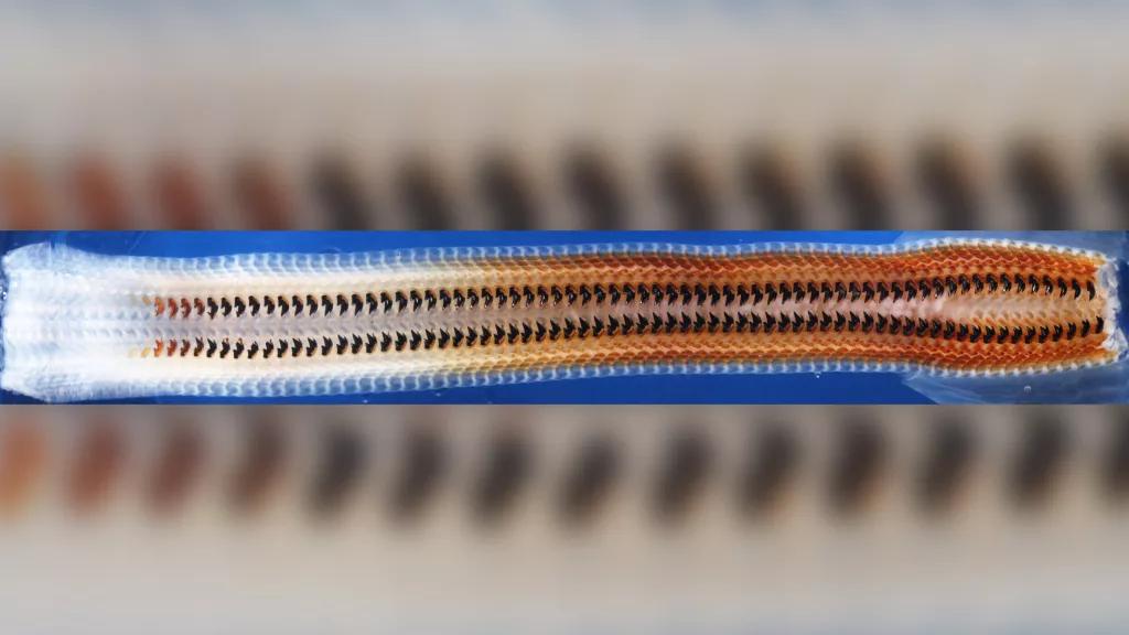Кріптохітон використовує свою радулу, всіяну твердими магнітними зубами, щоб пастися на каменях. Зображення показує стадії розвитку радули від найбільш ранньої (зліва) до найбільш пізньої (праворуч)