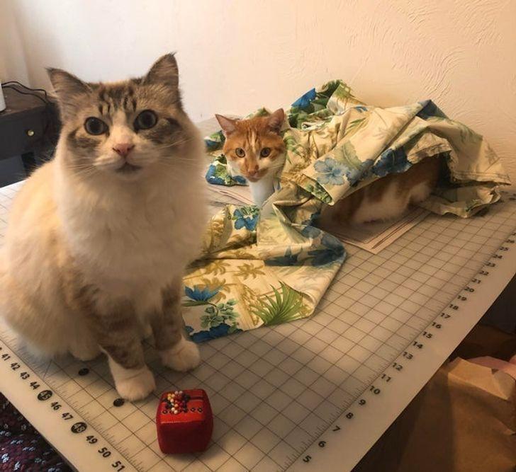 Коты помогают шить одежду.