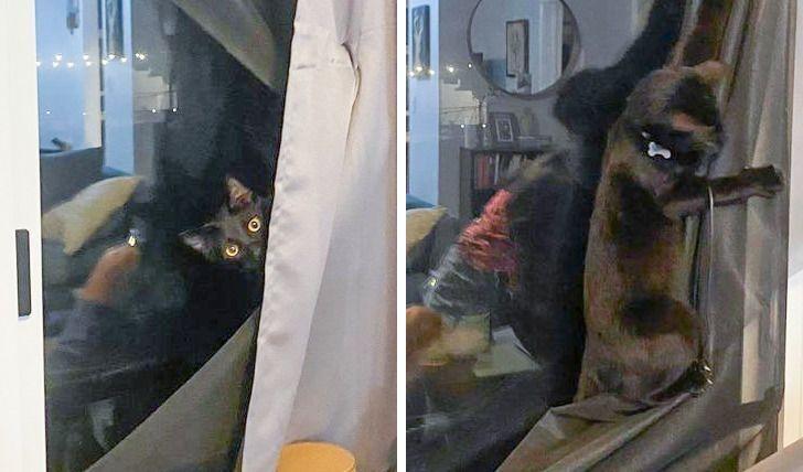 Кот нападает на шторы.