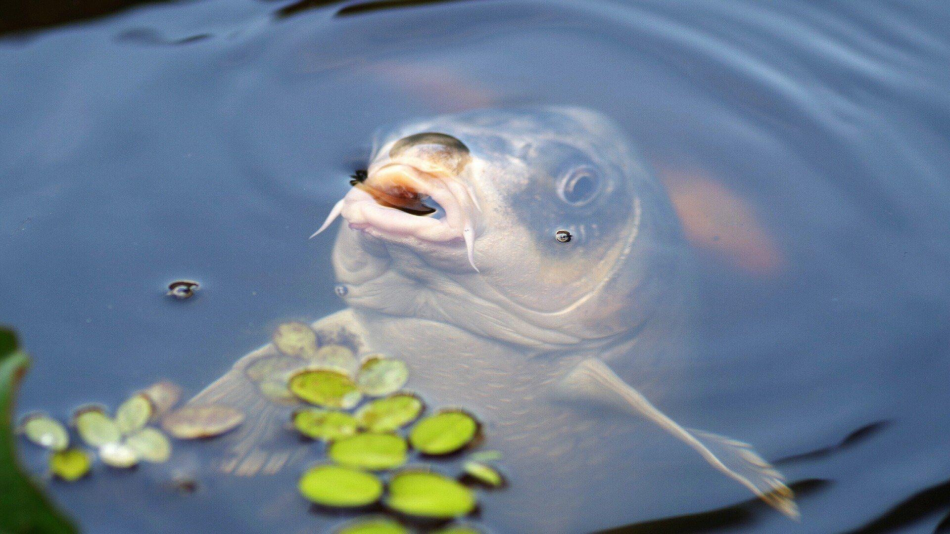 Люди верили, что если в этот день выловить карпа, то поймавший такую рыбу будет счастлив и здоров
