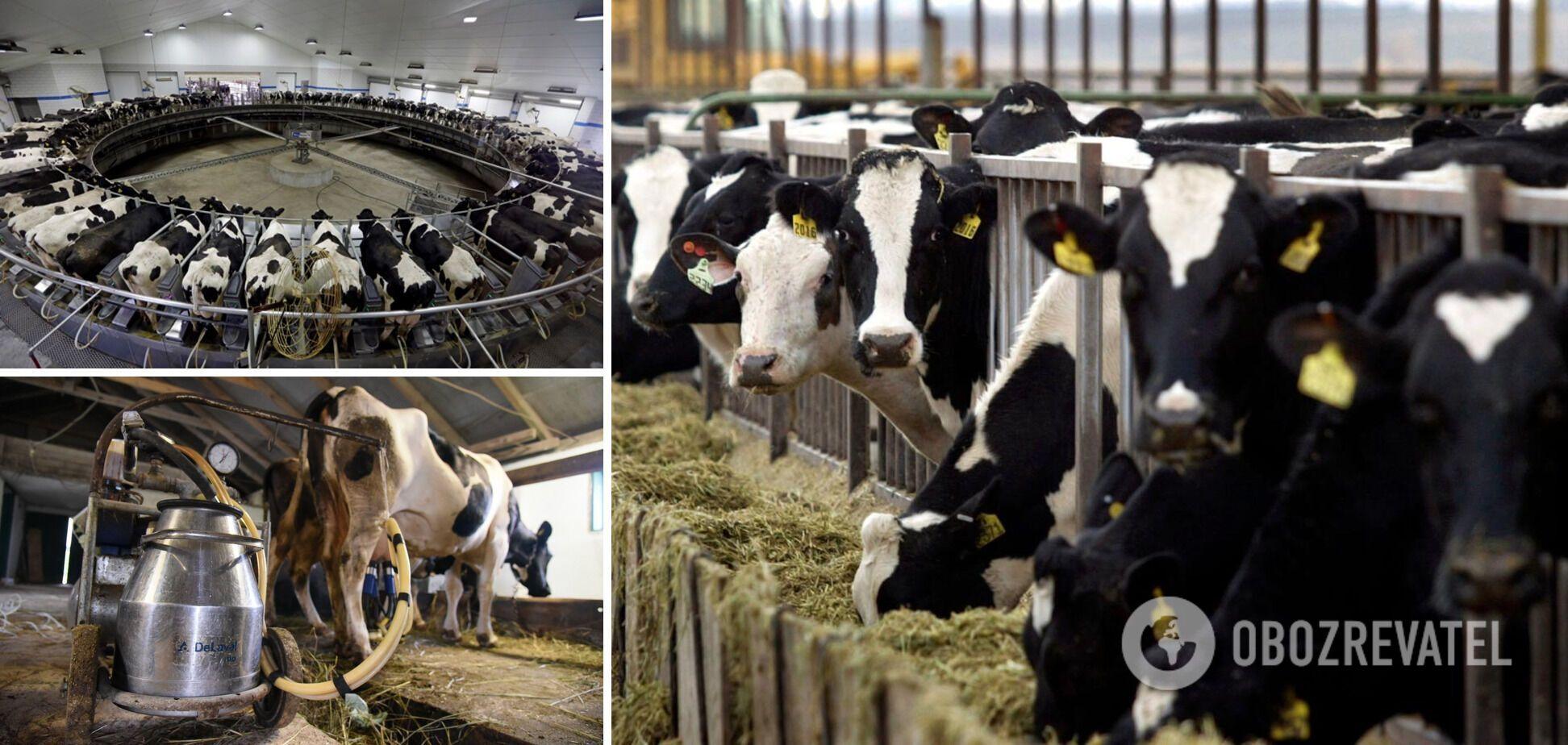 В Украине пока больше всего коров, которые дают молоко А1