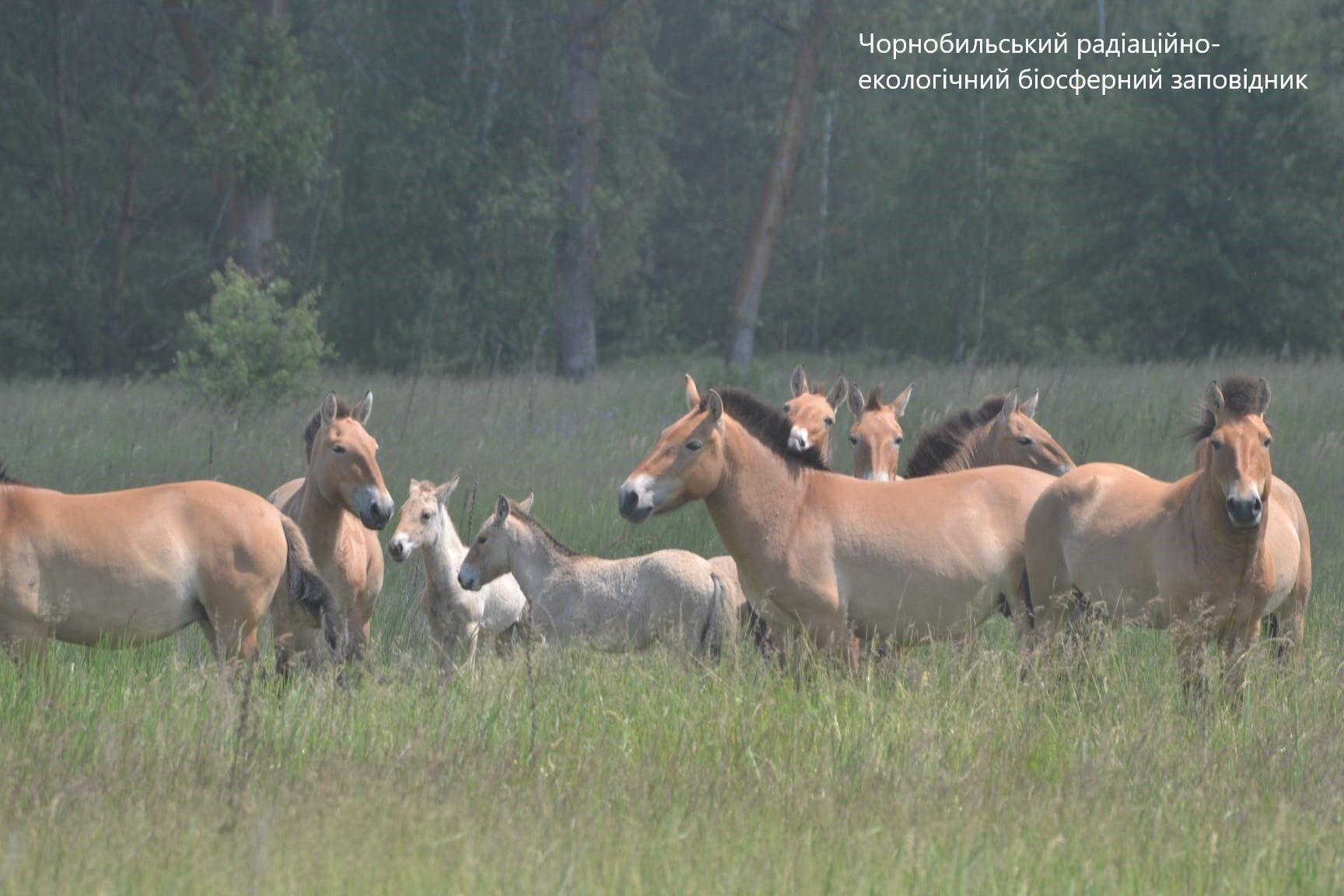 Чорнобильські коні Пржевальського з лошатами