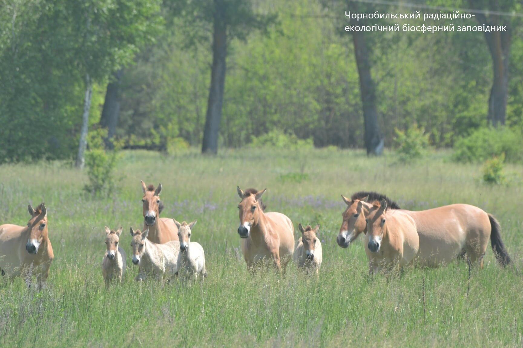 Табун коней Пржевальського помітили на північній окраїні Чорнобиля