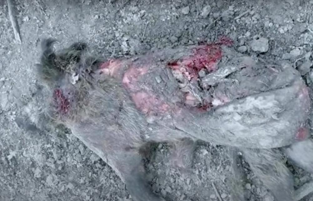 Останки оленя, якого вбила ведмедиця.