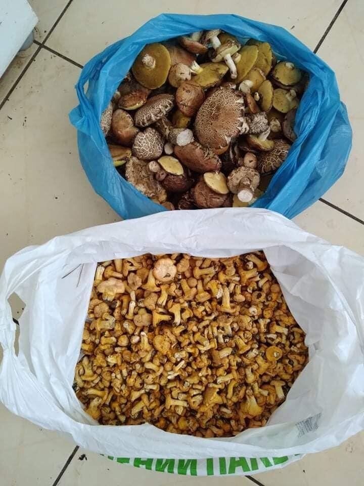 Сбор грибов в Буче, Киевщина