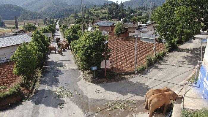 Слони робили набіги на ферми і заходили в міста