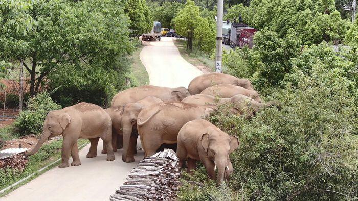 У Китаї подорожує стадо слонів