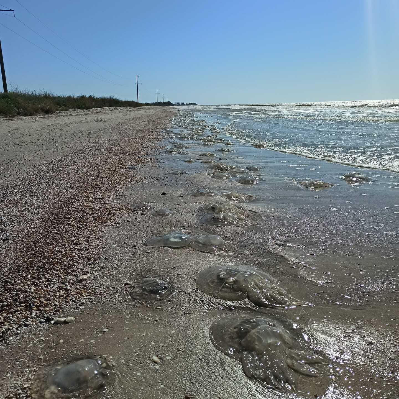 Медузи на пляжах Кирилівки.