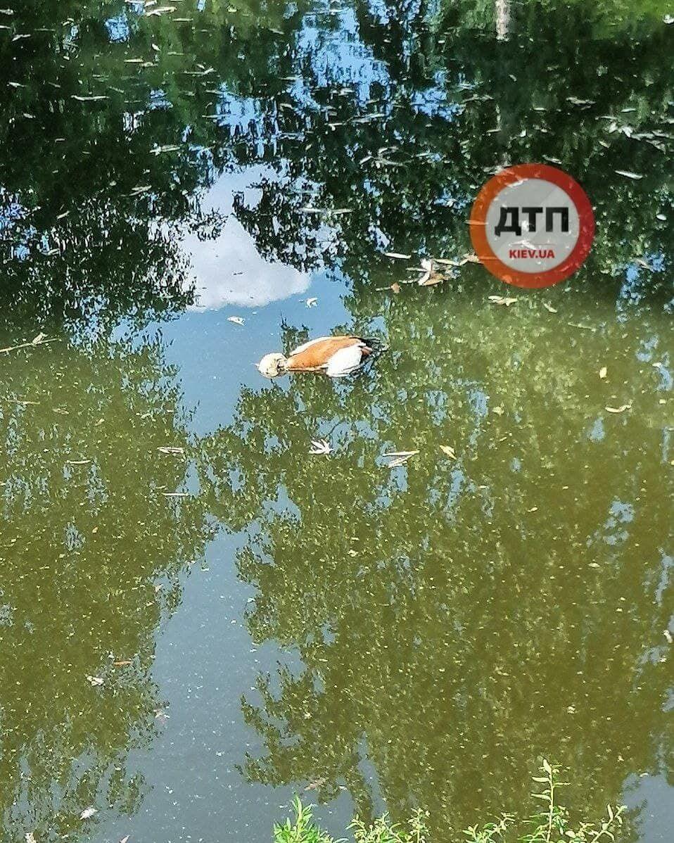 Мертвий огар у озері Києва