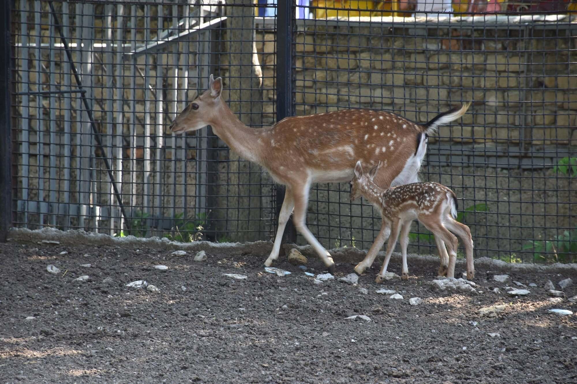 В Одесском зоопарке родились малыши европейской лани