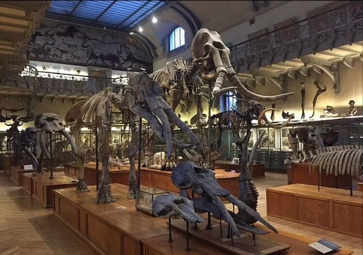 Галерея вимерлих хоботних тварин у Національному музеї природи в Парижі