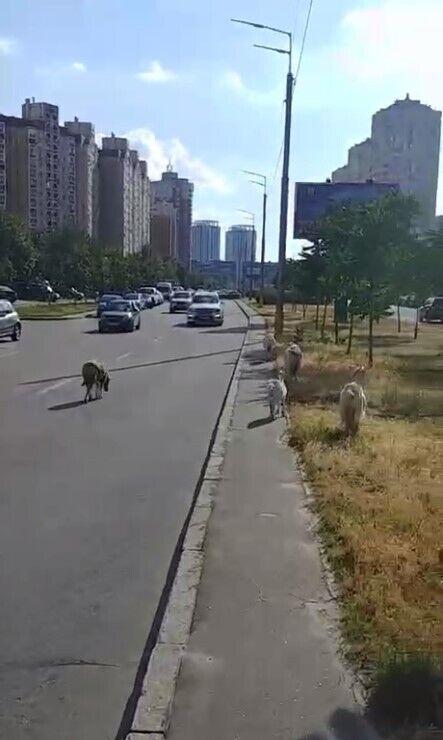 По Киеву гулял стадо домашних животных