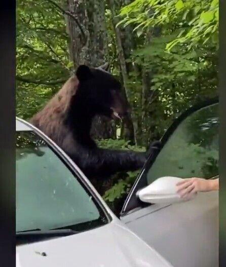 Ведмідь виліз із машини