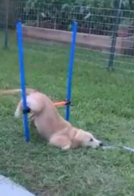 Собака не преодолела препятствие.
